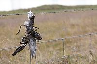 Vogel stirbt an Stacheldraht, Zaun, Stacheldrahtzaun, Tod durch Draht in der Landschaft, Bird dies of barbed wire, fence, barbed wire fence, death by wire in the countryside, barbwire. Goldregenpfeifer, Gold-Regenpfeifer, Regenpfeifer, Pluvialis apricaria, Eurasian golden plover, golden plover, Le Pluvier doré