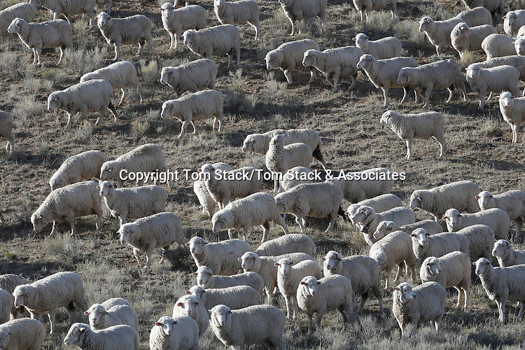 Sheep herding in Wyoming