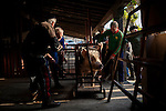 Some men help the professional butcher (in blue overalls) to tie the pig into a cage to be slaughtered in traditional way.  Doneztebe (Basque Country). December 08. 2016. The slaughter traditionally takes place in the autum and early winter and the work often is done in the open. (Gari Garaialde / Bostok Photo)