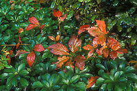 Peony Paeonia foliage in autumn color with Pachysandra