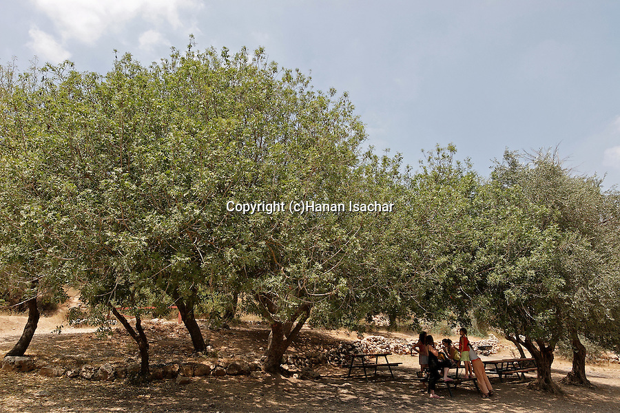 Israel, Terebinth tree (Pistacia Palaestina) in Ein Kobi