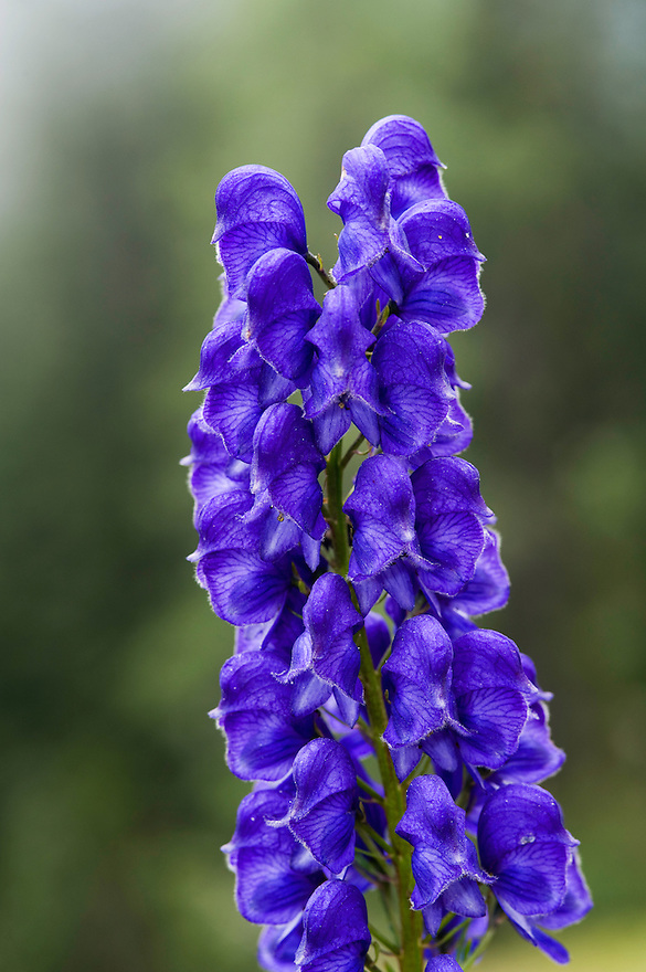 Monkshood (Aconitum napellus)<br /> Triglav National Park, Slovenia<br /> August 2009
