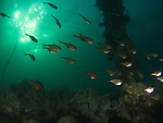 Apo Reef, Sulu Sea -- School of sweepers on Apo Wreck.<br />