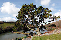 A fir tree is a focus at one end of the garden overlooking the estuary