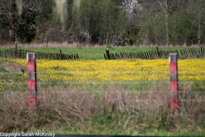 A field of buttercups bounded by old fences outside of Willits in Mendocino County in Northern California.