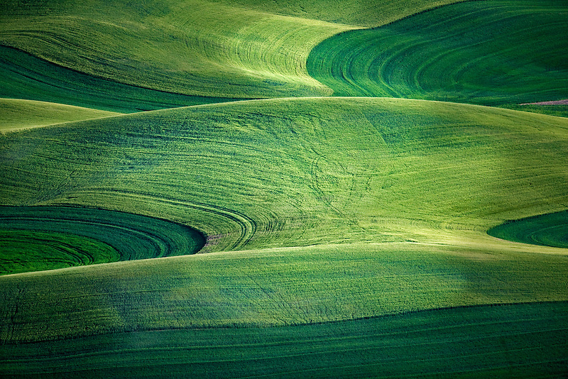 Large field of wheat. The Palouse near Colfax, Washington