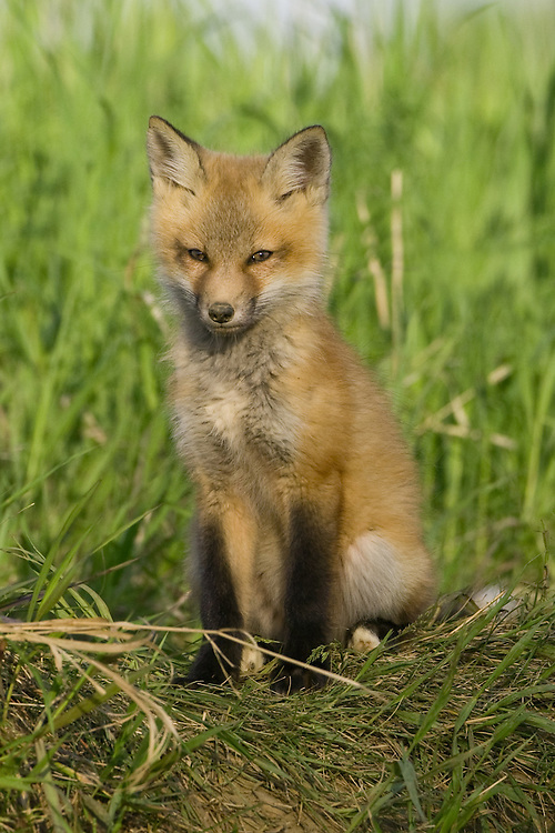 Red Fox Kit sitting on top of a hill