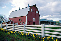 Daffodils and a white post fence frame a quaint red barn in western Oregon. farming, farm, rural scenic, architecture, agriculture. Oregon, Willamette Valley.
