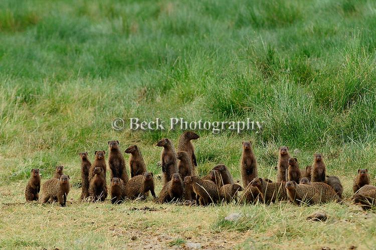 Africa  Lake Manyara area Banded Mongoose