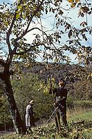 Europe/France/Midi-Pyrénées/46/Lot/Haut-Quercy/Saint-Clair: Gaulage des noix<br /> PHOTO D'ARCHIVES // ARCHIVAL IMAGES<br /> FRANCE 1980