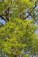Esche, Gemeine Esche, Gewöhnliche Esche, Blatt, Blätter, Laub, Frühlingslaub, Baumkrone, Blattwerk, Fraxinus excelsior, Common Ash, European Ash, leaf, leaves, Le Frêne commun, Frêne élevé