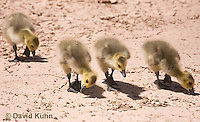 0224-1205  Canadian Gosling Foraging for Food (Canada Goose, Canadian Goose), Branta canadensis  © David Kuhn/Dwight Kuhn Photography