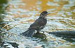 red winged blackbird female bathing