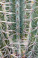 Pachycereus weberi, Candelabro, columnar cactus with sharp thorns