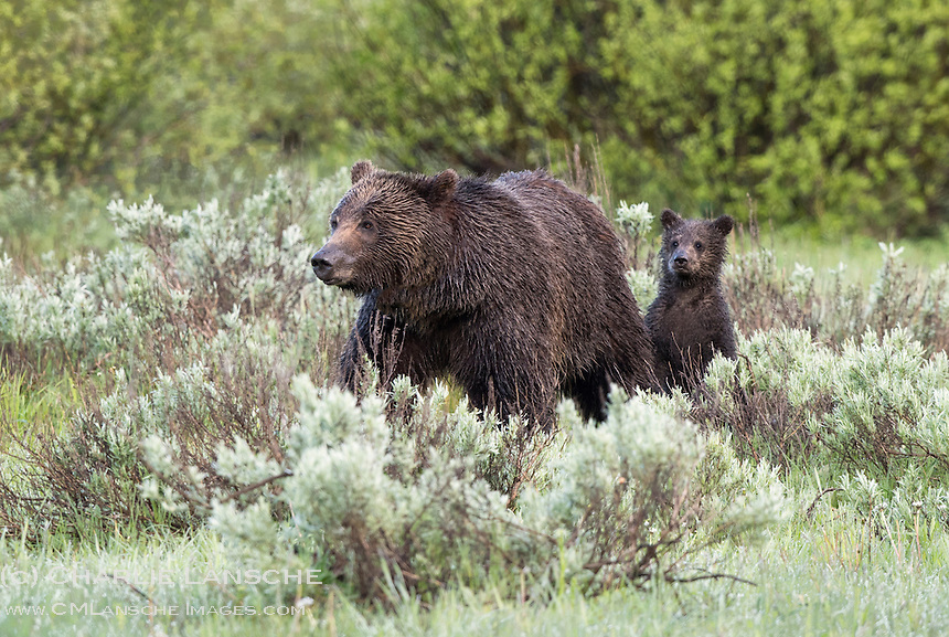 Grizzly 610 and Coy 2015