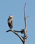Great Blue Heron.Ardea herodias at the Bolsa Chica Ecological Reserve Huntington Beach, Ca. March 8, 2009. Fitzroy Barrett