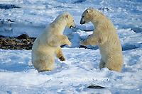 01874-00419 Polar Bears (Ursus maritimus) play fighting-sparring  Churchill  MB