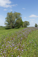 Field margin planted with a wild flower mix<br /> &copy;Tim Scrivener Photographer 07850 303986<br /> ....Covering Agriculture In The UK....