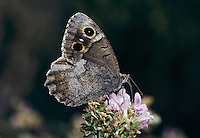 Tree Grayling, Hipparchia statilinus , adult, Wallis, Switzerland, September 1997