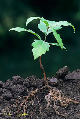 TT18-039b  Oak - seedling - soil profile, roots, fibrous - Quercus spp.