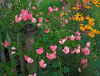 Provincetown, Cape Cod, MA <br /> Flowering pink roses and black-eyed susan (Rudbeckia hirta) intertwined  on a weathered picket fence
