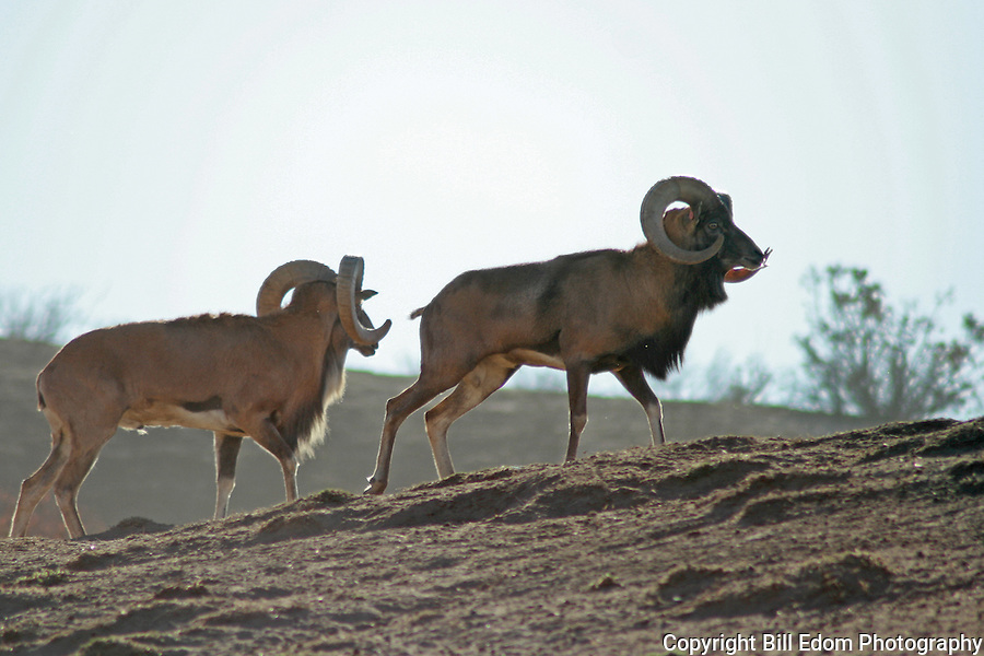 Two Rams walking on a ridge.