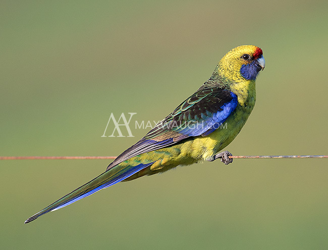 Green rosellas are another endemic bird in Tasmania.  They were a common sight near farmland.