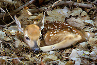 White-Tail Fawn, New Jersey