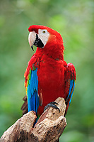 scarlet macaw, Ara macao, adult on a tree, Pantanal, Mato Grosso, Brazil, South America