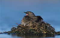 Least Grebe, Tachybaptus dominicus, adult on nest, Lake Corpus Christi, Texas, USA, June 2003