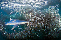 blue sharks, Prionace glauca, attacking and feeding on anchovy bait ball, Engraulis encrasicolus, Cape Point, South Africa