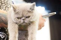 SAO PAULO, SP- 12.03.2017 - EXPOSIÇÃO-GATOS - Gatos de raça sao visto durante a 175å Exposições Internacionais de Gatos de Raças no Clube Homs na Av Paulista neste Domingo,12 (Foto: Carlos Pessuto/Brazil Photo Press/Folha Press)