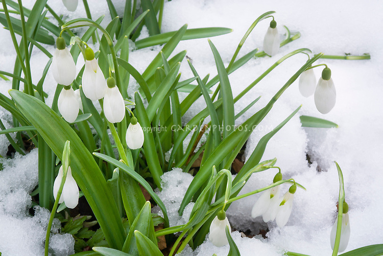 Galanthus Comet snowdrops in winter snow flower