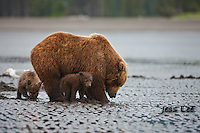 A photo of a Alaska coastal brown bear sow and her two cubs clamming. Grizzly Bear or brown bear alaska Alaska Brown bears also known as Costal Grizzlies or grizzly bears