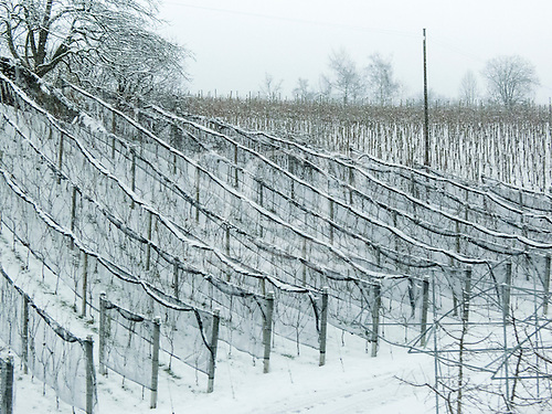 Switzerland. Snow covered vines.