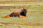 Bison Female and Newborn Calves, Madison River, Yellowstone National Park, Wyoming