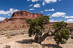A Utah Juniper, Juniperus osteosperma, in front of Mexican Mountain in the Mexican Mountain Wilderness Study Area of the San Rafael Swell in Utah.