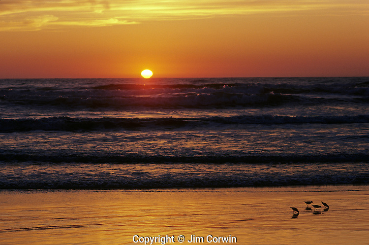Sunset along Washington Coast silhouetted shore birds looking for food along shoreline Washington State USA
