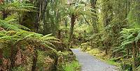Hiking track through native rainforest with tree ferns ponga at Ship Creek, South Westland, UNESCO World Heritage Area, New Zealand, NZ