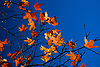 Orange bigtooth maple leaves against a blue sky in the fall at Lost Maples State Natural Area, Texas, USA.