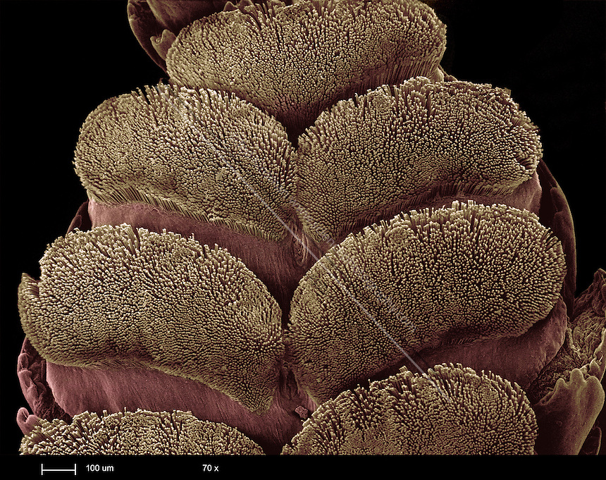 The toe hairs on a gecko's foot pads. Scanning electron micrograph (SEM) of hairs, or setae, from a gecko's (family Gekkonidae) toe. These hairs enable the gecko to cling to smooth surfaces by taking advantage of weak intermolecular forces, known as Van der Waals forces.