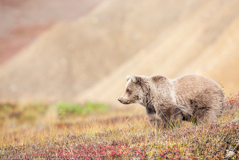 Grizzly bear cub in the autumn tundra in Highway pass, Denali National Park.