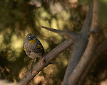 Audubon's Warbler Southern California
