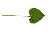 Märzveilchen, März-Veilchen, Duftveilchen, Wohlriechendes Veilchen, Veilchen, Viola odorata, wood violet, Sweet Violet, English Violet, Violet, Common Violet, Garden Violet, La Violette odorante. Blatt, Blätter, leaf, leaves