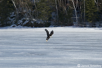 Bald eagle flying over a frozen lake
