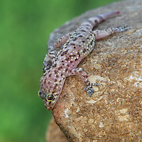 "An ""urban lizard,"" The hardy House Gecko has spread from its native Southeast Asia to other continents by stowing away on cargo. This has given them the widest range of any lizard in the world."