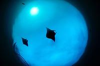 reef manta rays (Manta alfredi) feeding on plankton North Raja Ampat, West Papua, Indonesia, Pacific Ocean [size of single organism: 7 m]   Riesenmanta  (Manta alfredi) Raja Ampat, West Papua, Indonesien, Pazifischer Ozean