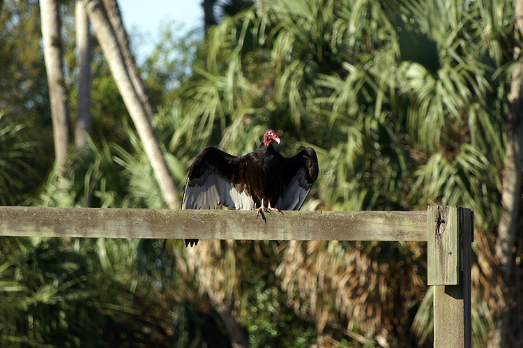 A turkey vulture sits soaking up the sun.