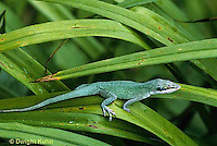 1R06-081b   Green Anole -climbing on leaves - Anolis carolinensis..