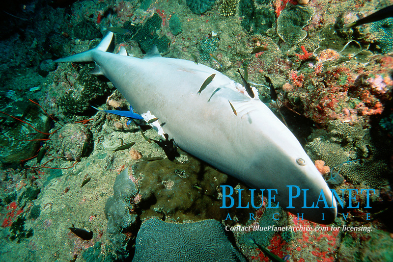 gray reef shark, Carcharhinus amblyrhynchos, killed for fins, Thailand, Andaman Sea, Indian Ocean